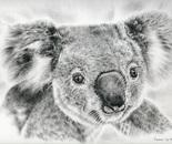 Koala Newport Bridge Gloria