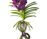 PURPLE ORCHID WITH TIED ROOTS