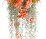 BEGONIA WITH MOSS