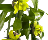 YELLOW ORCHID PODS