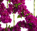 BOUGAINVILLEA WITH BAMBOO