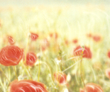 'Dancing Poppies' -a panoramic photograph