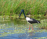Jabiru. Black-necked Stork