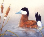 Mr. Ruddy Duck