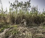 Sugar-cane harvest, Burma