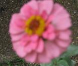 Pink Zennia