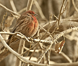 House Finch Resting