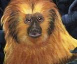 Golden Lion Tamerian