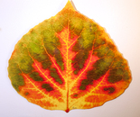 Medium Green, Orange, and Red Aspen Leaf 2