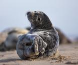 Juvenile Seal