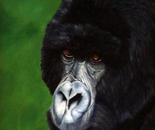 Ndume, Silverback mountain gorilla