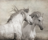 Majestic Stallions II