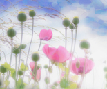 Pink Poppies Under a Tissue Paper Sky