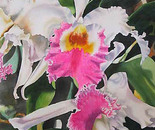 hot pink and white orchids