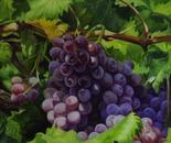 Grapes. Rich harvest
