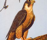 LG 0230 - Il falco pellegrino - olio su tela - cm. 18x24