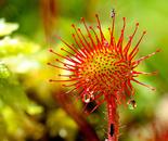 Drocera rotundifolia