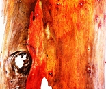 eucalyptus tree trunk 1