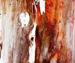eucalyptus tree trunk 2