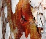 eucalyptus tree trunk 4