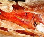 eucalyptus tree trunk 5