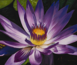 Fire Water Lily