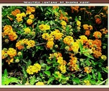 Beautiful Lantana