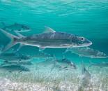 Bonefish Beauty