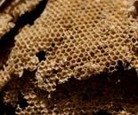 PARAMETRIC BEES (PULCHRUM)
