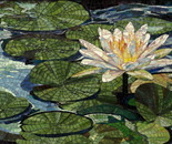 Nymphaea (Water Lily)
