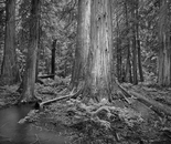 Ferns and Cedars, Ross Creek Cedars