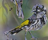 New Holland honeyeaters