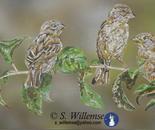 Rural Sparrows