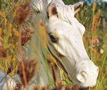 White Ponie