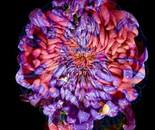 pink and purple brain hydrangea