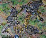 Yellow- tailed Black cockatoos