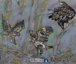 Wedge-tailed Eagles: Learning to fly