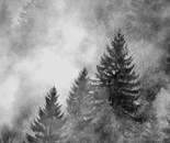 fog over the pine trees#1