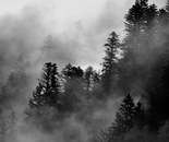 Fog over the pine trees #2