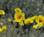 """yellow"" poppies"