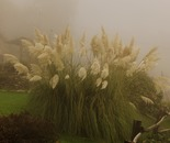 pampas flowers in the fog