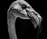 Close-up of Chilean flamingo head in mono