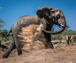 Elephant giving itself dust bath on hillside