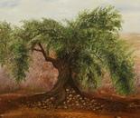 Olive Tree Deir Hana Israel