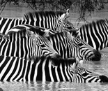 Dazzle of Zebra