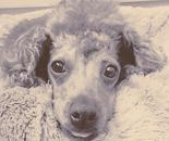 My dog Teddy (Tongue)