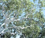 The Kimberley; Ghost Gum