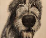 Irish wolfhound Pippa