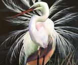 Egret During Mating Season