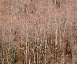 Thicket of Alders